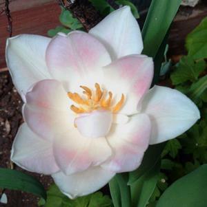 angelique-tulip