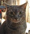 Beautiful Boo - grey tabby cat