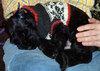 Bezoar napping