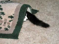 cute cat nose & tail peeking from under a rug