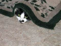 cute cat peekaboo