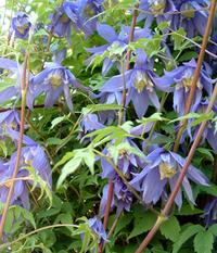 blue-clematis-bells