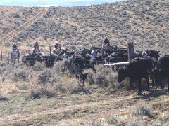 cowpokes on horseback bringing in the cows