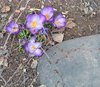 Crocus and stone