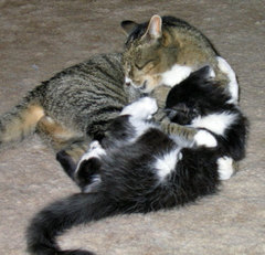 big grey tabby cat & little tuxedo kitten wrestling