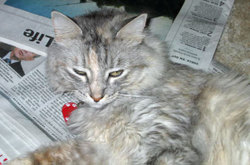 Gracie ~ pale torti cat
