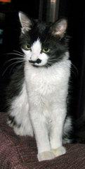 black & white kitten looking prissy