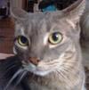 grey tabby cat