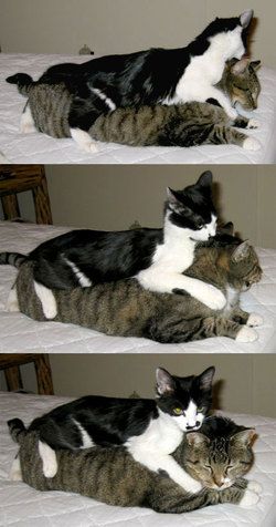 2 cats -- PeeWee and DC -- wrestling