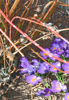 Purple crocus and red dog wood