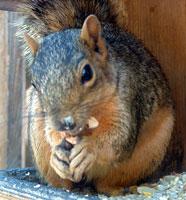 squirrel-july