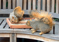 squirrels face off over a feeder