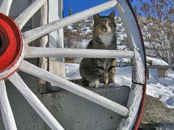 tabby cat & wagon wheel in the snow