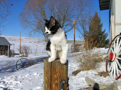 tuxedo kitten on a tree trunk in the snow