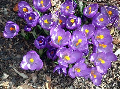 purplecrocus.jpg